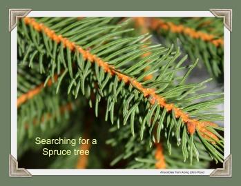 spruce tree.jpg